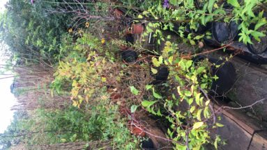Na zdjęciu widać sadzonki w ogrodzie